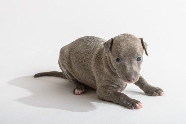 イタリアングレーハウンドの子犬
