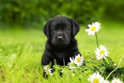 ラブラドールレトリバー子犬