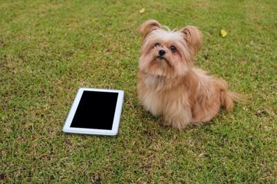 iPadの隣に座る小型犬