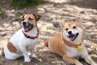 一緒に散歩するテリア犬と柴犬