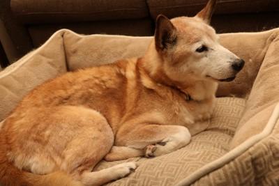 犬用ベッドで休む柴犬