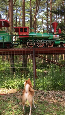 SL鉄道を見つめる柴犬