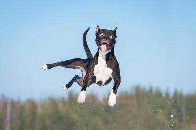 思い切りジャンプする犬