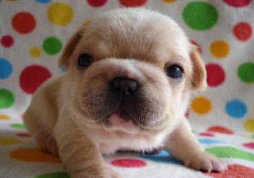 垂れ耳のフレンチブルの子犬