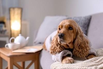 セーターを着た犬