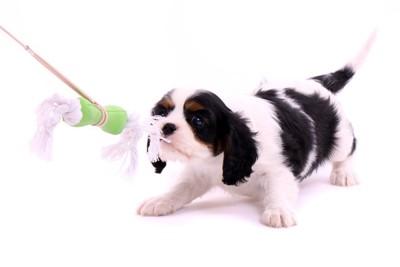 おもちゃを噛んで引っ張っている犬