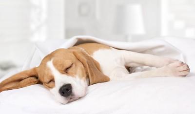 ベッドの上で気持ちよさそうに眠るビーグル犬