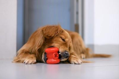 床に伏せてオモチャで遊ぶ犬