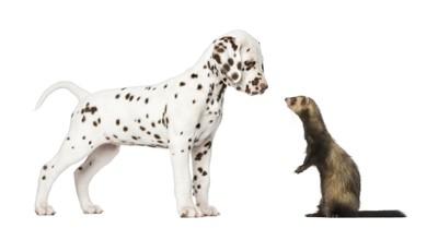 犬とフェレット