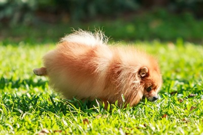 オシッコをする犬