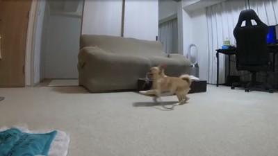 おもちゃを咥えたまま走る犬