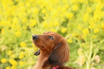 ダックスフンドと黄色い花