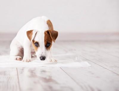 トイレシートの上に座っている犬