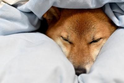 布団に埋もれる犬