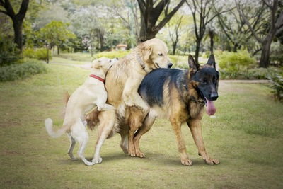 マウンティングする3匹の犬