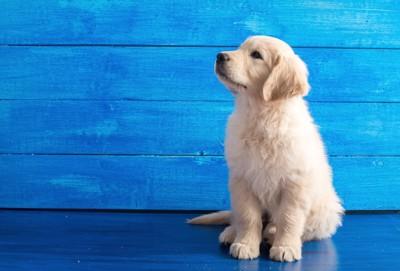 青い壁とゴールデンレトリバーの子犬