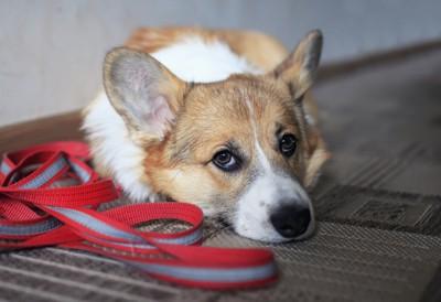 散歩に行きたそうな犬
