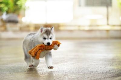 おもちゃのぬいぐるみを運ぶ子犬
