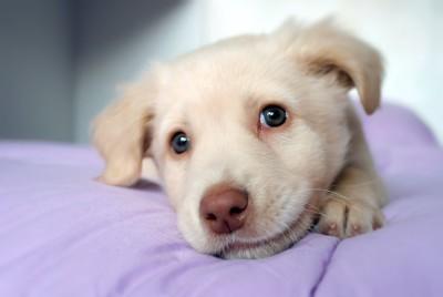 布団の上で寛ぐ白い子犬