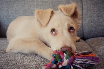 上目遣いの怯える犬