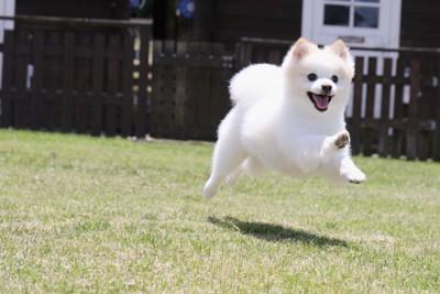 芝生の上を走り回るポメラニアン