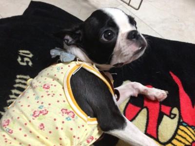 黄色い服着た犬