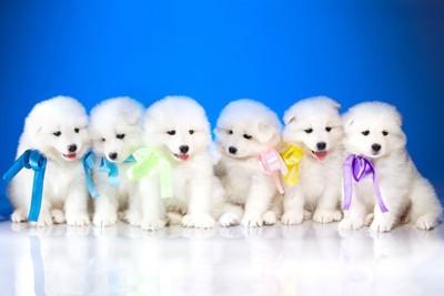 86匹のサモエドの子犬