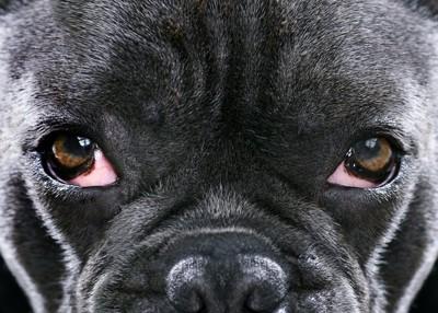黒い犬の両目アップ