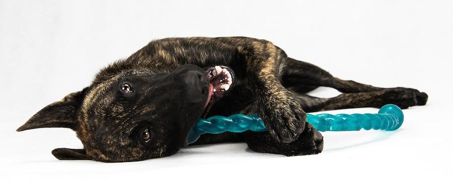寝転がって青いおもちゃを噛んでいる犬