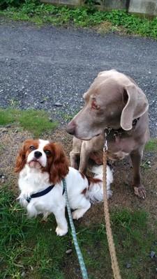 ミッキーと先住犬のキャバリア、レト