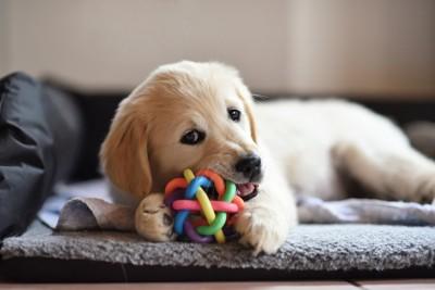 ソファーでおもちゃを噛んでいる犬