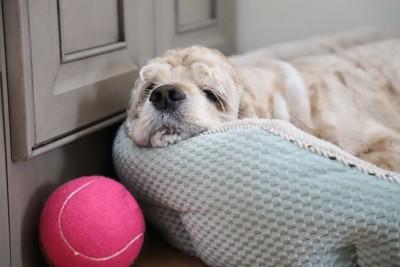 犬用のベッドで寛ぐ犬