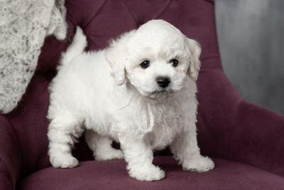 ソファーの上でたたずむビションフリーゼの幼犬