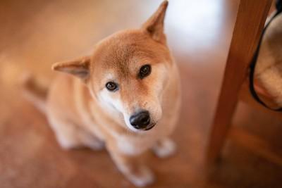 耳を横に向けて見上げる柴犬