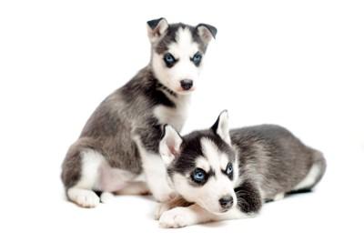 2頭のハスキーの子犬