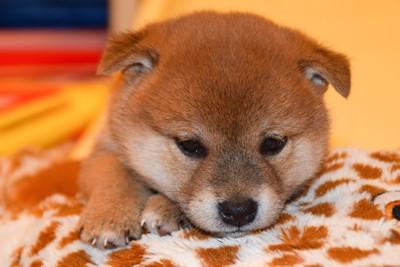 毛布の上でくつろぐ柴犬の子犬