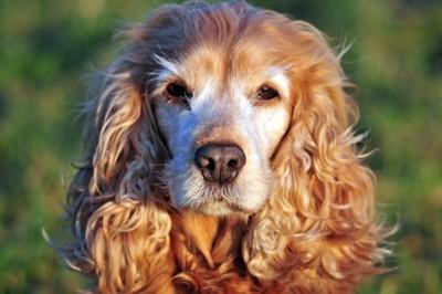 年を取った犬