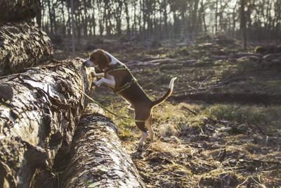 森の中で匂いを嗅ぐ犬