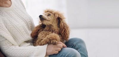飼い主の膝の上に乗って飼い主の顔を見つめる犬