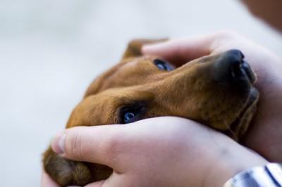 顔を両手で包まれて飼い主を見つめる犬