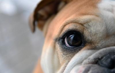 ブルドッグの片目