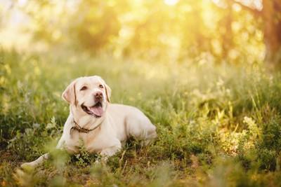 草原に伏せて笑顔のレトリーバー