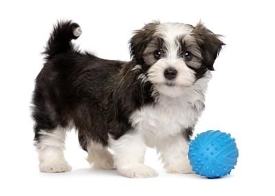 青いボールと子犬