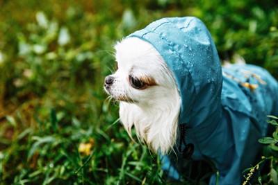 青いレインコートを着たチワワ