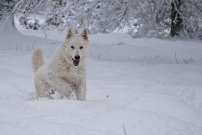 ホワイトスイスシェパードと雪