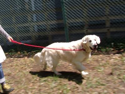 #散歩している犬#