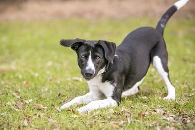 プレイバウの姿勢を取る白黒の犬