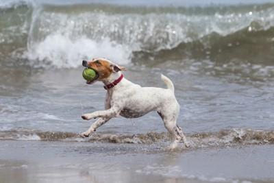 海辺でボール遊びをする犬