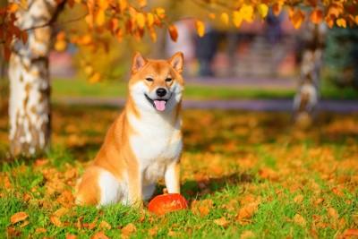 紅葉の中でかぼちゃの前に座る柴犬