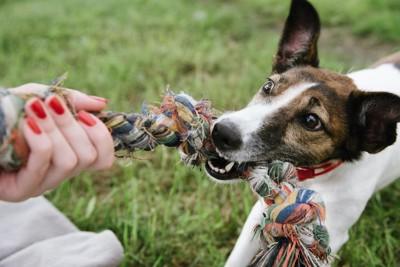 飼い主の持つロープのおもちゃを引っぱる犬